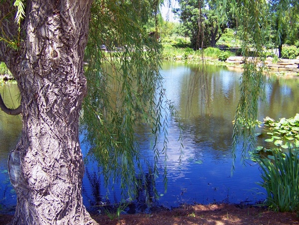 weeping willow beside pond
