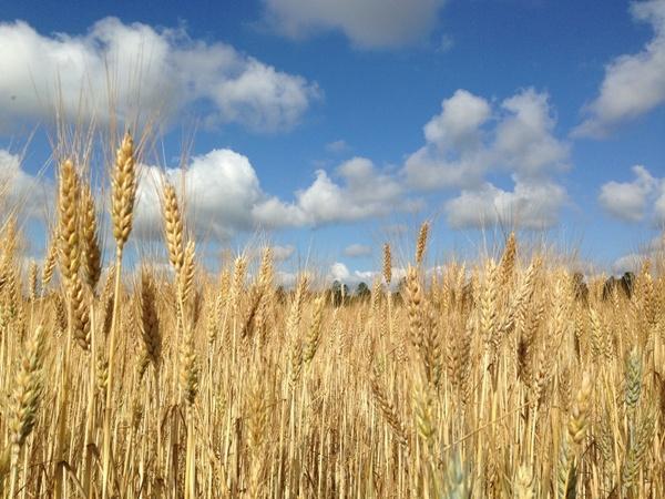wheat field blue sky clouds