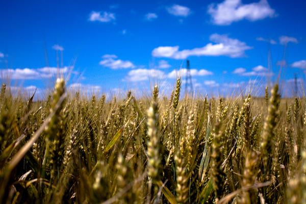 wheat field e x p l o r e d