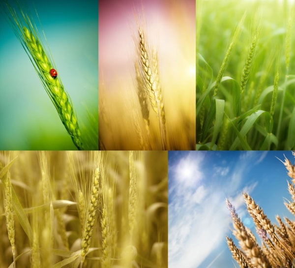 wheat highdefinition picture