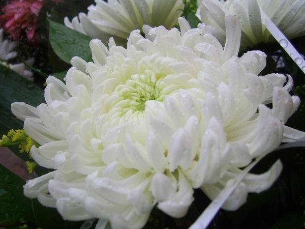 White Chrysanthemum Free Stock Photos In Jpeg G 2272x1704