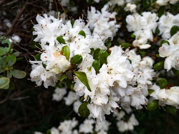 White flowers on bush free stock photos in jpg format for free white flowers on bush mightylinksfo