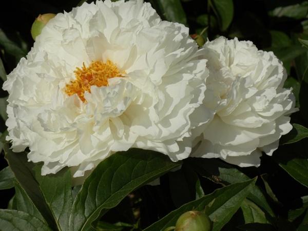White flowers yellow center free stock photos in jpeg g white flowers yellow center mightylinksfo