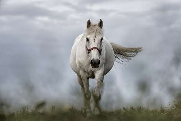 White Horse Running Free Stock Photos In Jpg Format For Free