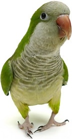 white parrot picture 3