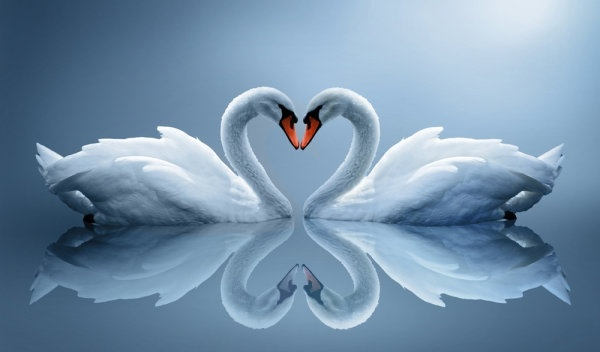 White swan wallpapers – one hd wallpaper pictures backgrounds free.