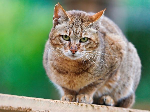 wild cat posing