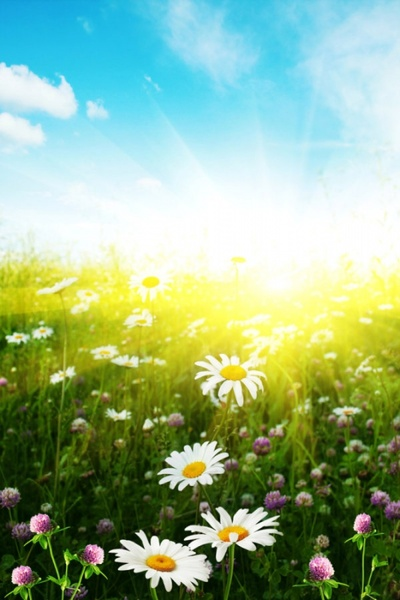 wild chrysanthemum under the sun a highdefinition picture