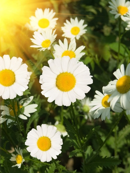 wild chrysanthemum white highdefinition picture