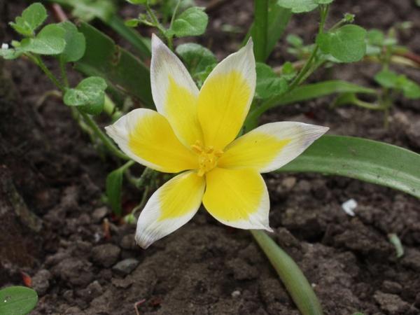 wild tulip flower yellow white
