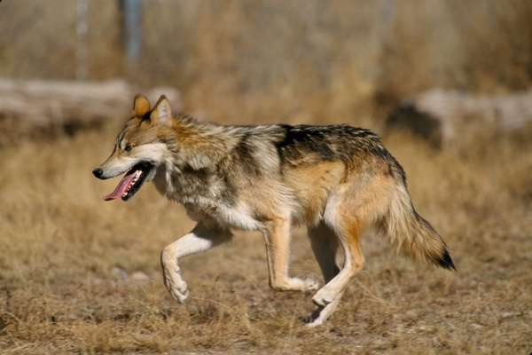 wolf mexican wolf canis lupus baileyi