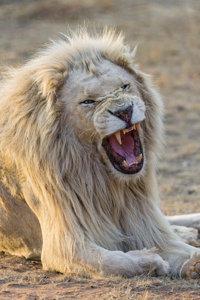 yawning white lion
