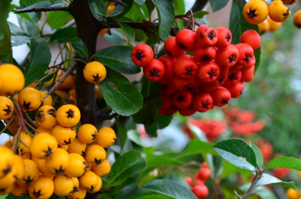 yellow and red berry