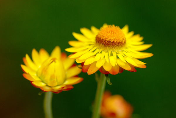 yellow flowers again
