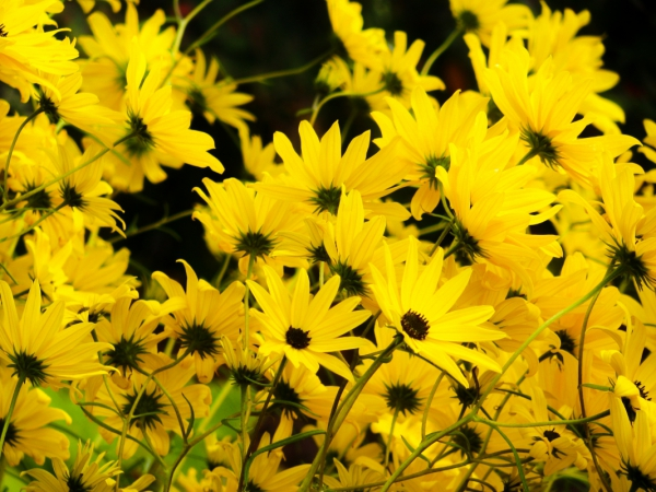 Yellow flowers on black background Free stock photos in
