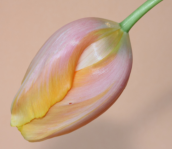 yellow pink tulip