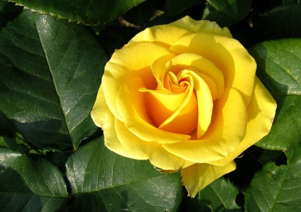 Yellow Rose Free Stock Photos In Jpeg Jpg 1280x905 Format For