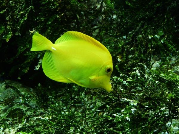 yellow segelflossendoktor fish zebrasoma flavescens