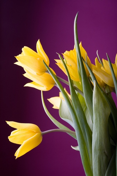yellow tulips hd picture