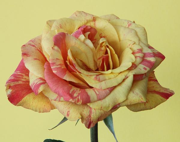 yellowred rose