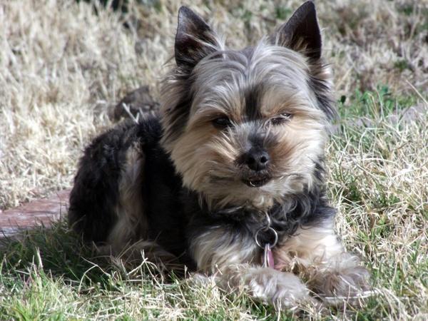 yorkie dog in yard 1