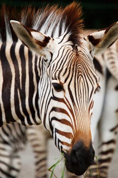 zebra039s head