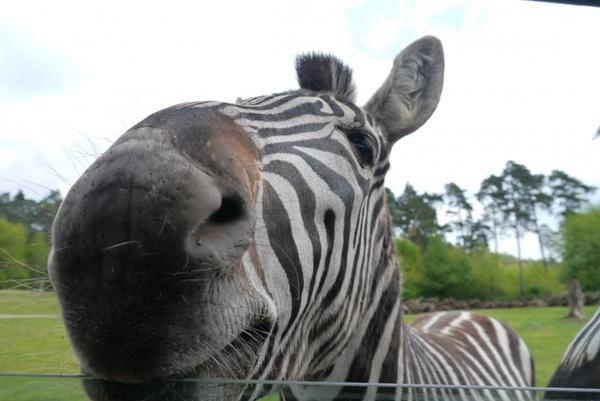 zebra africa close