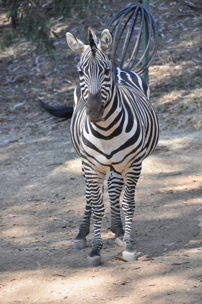 zebra black white zebra stripes