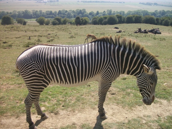 zebra black white zebra stripes