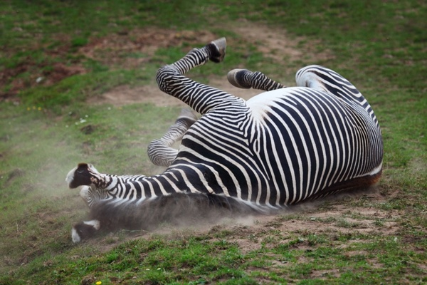 zebra in dust