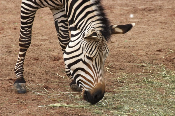 zebra zoo africa