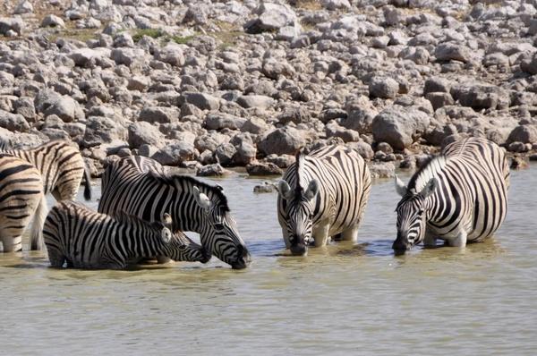 zebras drink foal