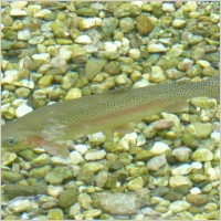 rainbow trout fish trout