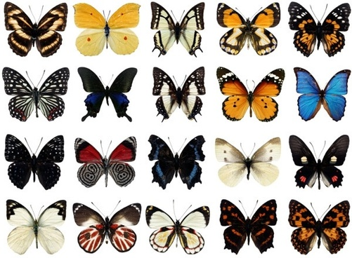 100 species of butterflies psd layered highdefinition 1