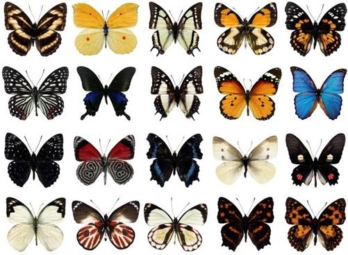 100 species of butterflies psd layered highdefinition 1