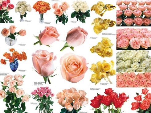 109 colored roses picture 4