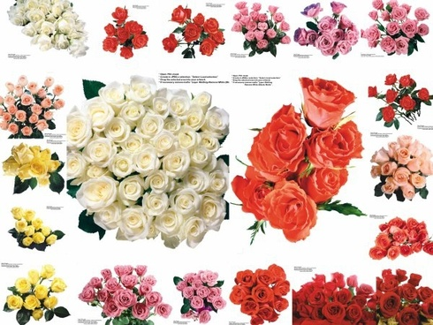 109 colored roses pictures 2