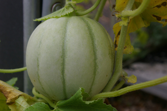 14 235 in our greenhouse a melon