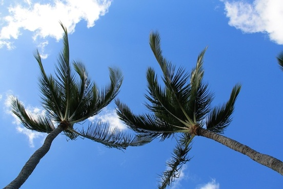 2 palm trees under sky in the wind