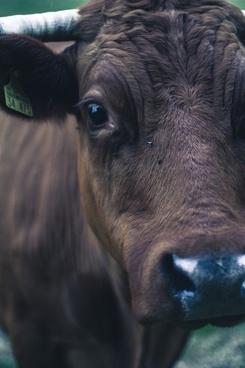 3 4 animal close up cow eye farm fur nose