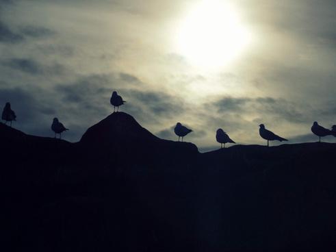 60365 seagulls