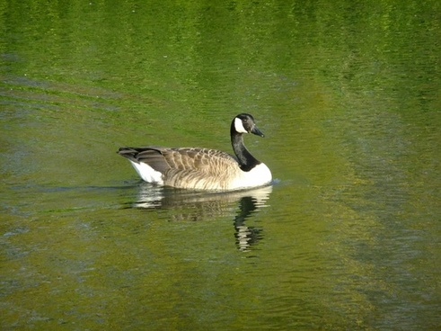 goose images free stock photos download 132 free stock photos for