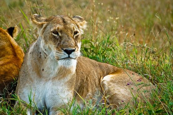 a expressive lion