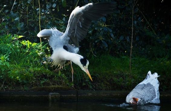 a heron scares a goose