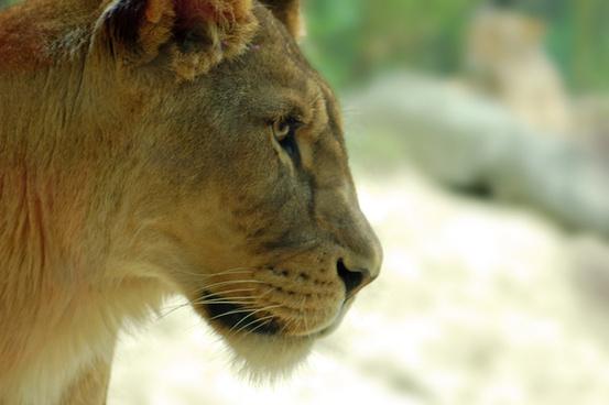 a lions portret