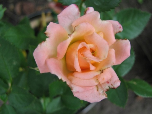 a newly bloomed parade rose