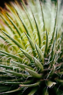 abstract agave background cacti close closeup color