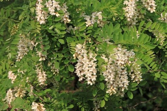 acacia blooming flowers