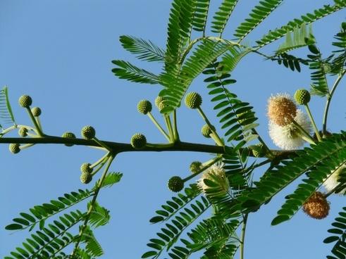 acacia flowers flower inflorescences