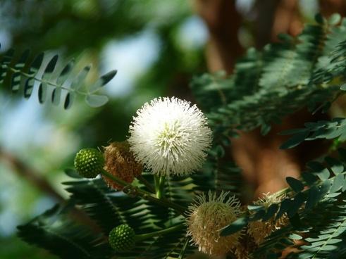 acacia flowers flower white